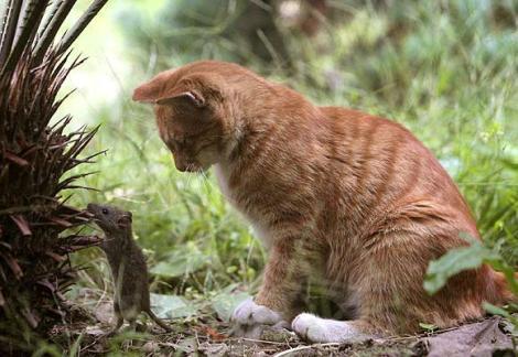 gatito jugando con un raton