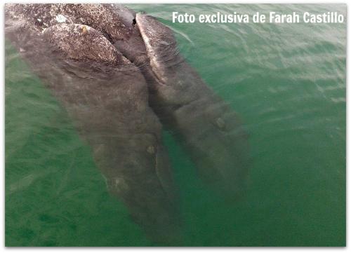 2-1-ballena-de-dos-cabezas
