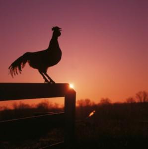gallo-despertar